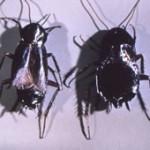 blattes orientales
