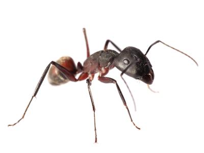 les fourmis insecticides et raticides. Black Bedroom Furniture Sets. Home Design Ideas