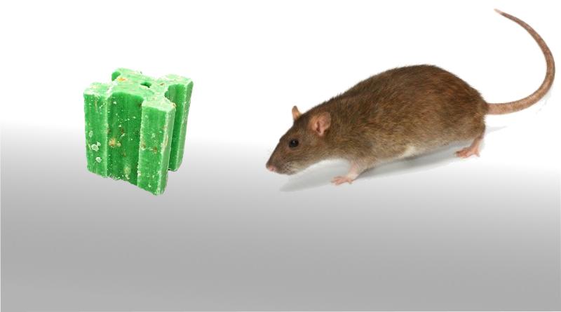 Les rats et les différents outils de lutte contre les rats